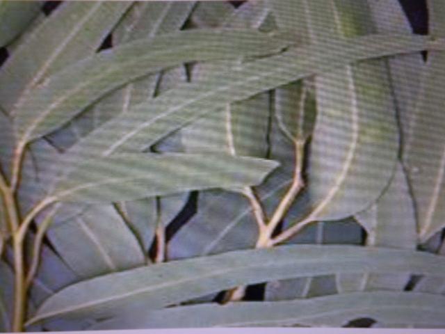 Eukalyptus - aromatická vonná silica (10ml)