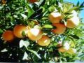 Pomaranč sladký - aromatická vonná silica (10ml)