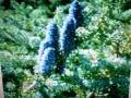Jedlička - aromatická vonná silica (10ml)