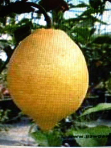 Citron taliansky - aromatická vonná silica (10ml)